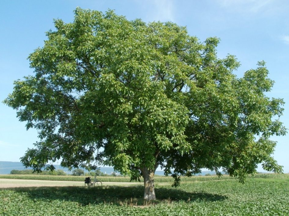 Notenboom - walnoot (Juglans Regia) - Bron: wikimedia commons